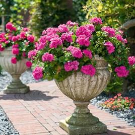 Geranium Great Balls of Fire Pink (12)