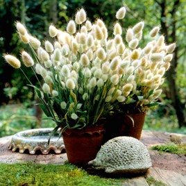 Grasses Ornamental Seeds - Bunny Tails