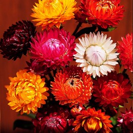 Strawflower Seeds - Forever Mix
