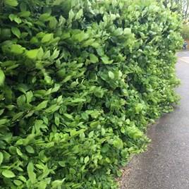Carpinus betulus (Hornbeam) Plant