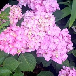 Hydrangea Plant - Endless Summer Bloomstar