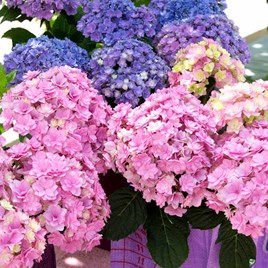 Hydrangea m. YOU & ME® 'Romance'