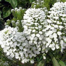 Candytuft Seeds - Mount Hood