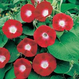 Morning Glory Seeds - Crimson Rambler