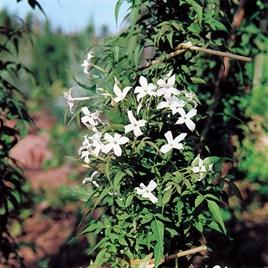 Jasminum officinale Plant 2 Litre Pot x 1