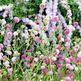 Knautia Plant - Melton Pastels