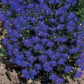 Lobelia Seeds - Crystal Palace