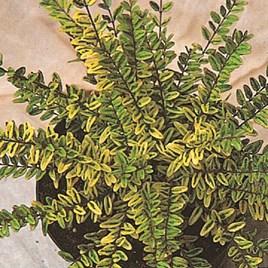 Lonicera nitida 'Lemon Beauty'