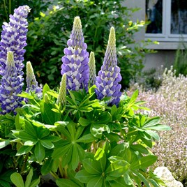 Lupin Plants - Mini Gallery Bi-colour Blue