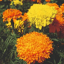 Marigold African Seeds - Fantastic Mix
