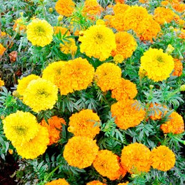 Marigold Indian Seeds - Kushi