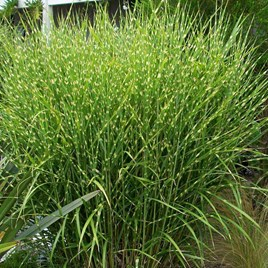 Miscanthus sinensis Plant - Strictus (Zebrinus)