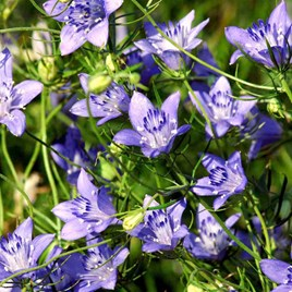 Love-in-a-Mist Seeds - Blue Stars