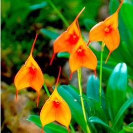 Masdevallia Orchid Plant - Orange