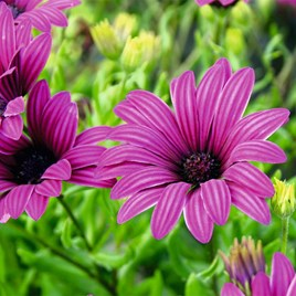 Osteospermum (Hardy) Plants - Tresco Purple