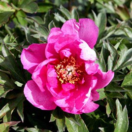 Paeonia ITOH 'First Arrival'