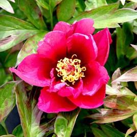 Paeonia ITOH 'Pink Ardour'