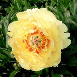 Paeonia ITOH 'Garden Treasure'
