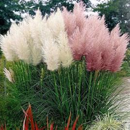 Prairie Seeds - Pampas Feathers Mix
