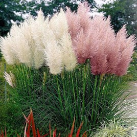 Prairie Seeds - Pampas Feathers Mix