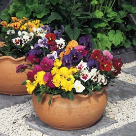 Pansy Seeds - F1 Super Hybrid Winter Flowering Mix
