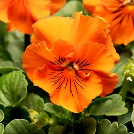 Pansy - F1 Frizzle Sizzle Orange