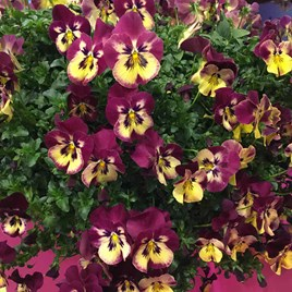 Pansy Plants - Cool Wave Raspberry Swirl