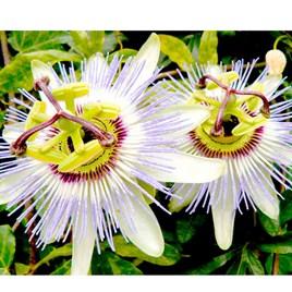 Passion Flower Seeds - caerulea