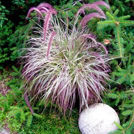 Pennisetum Plant - Cherry Sparkler