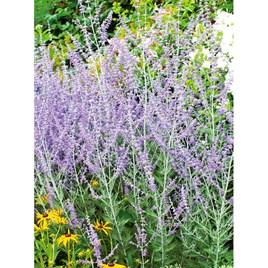 Perovskia Taiga Seeds