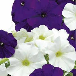 Petunia Seeds - F1 Skyline Mix
