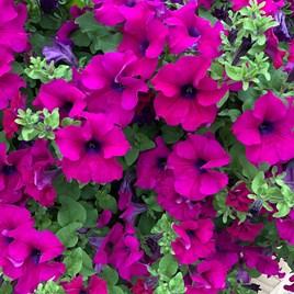 Surfinia Large Flowered Purple (6)