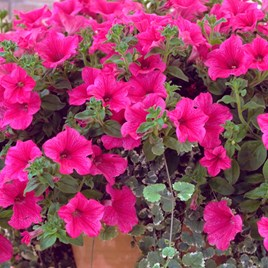 Petunia Surfinia Large Flowered Plants - Hot Pink