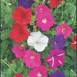 Petunia Seeds -  F2 Cheerful Mix
