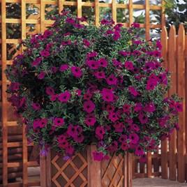 Petunia Plants - Surfinia Purple