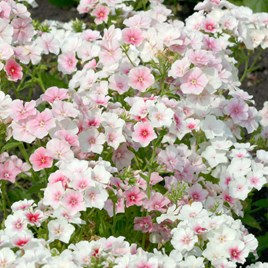 Phlox - Blushing Bride