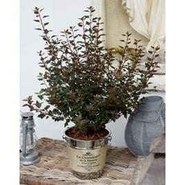Physocarpus opulif. 'Little Joker'®