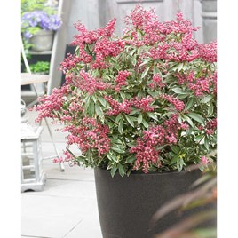 Pieris jap. 'Polar Passion' 2LTR