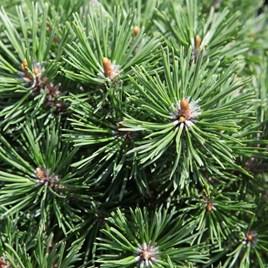 Pinus mugo Plant - 'Mops'