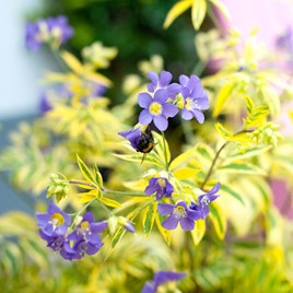 Polemonium Golden Feathers Plants
