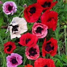 Poppy Seeds - Pizzicato Mix