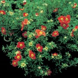 Potentilla fruticosa 'Marian Red Robin' 3Ltr