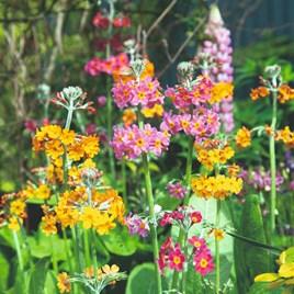 Primula Seeds - candelabra Hybrids Mix
