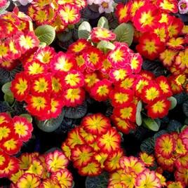 Primula Plants - Rambo Red Flame