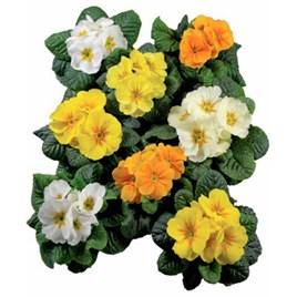 Primrose Plants - Rambo Daffodil Mix
