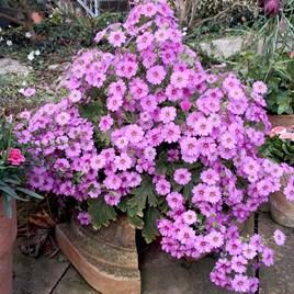 Primula Plant - Ooh la la Pastel Pink