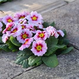 Primrose Plants - Rambo Appleblossom
