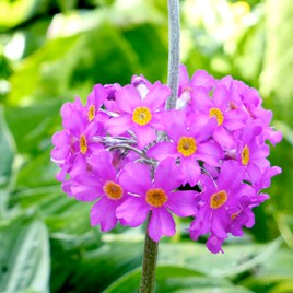 Primula beesiana (3)