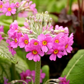 Primula beesiana Plant