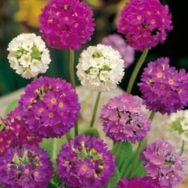 Primula Seeds - denticulata Hybrids